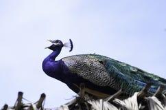 peacock squealing Στοκ φωτογραφία με δικαίωμα ελεύθερης χρήσης