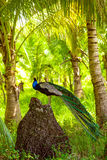 Peacock standing on the stone Royalty Free Stock Images