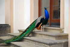 Peacock. Stock Image