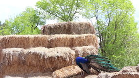 Peacock on Straw Bales Fluffing Feathers stock video