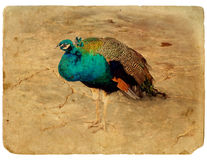 Peacock - a stylized retro card. Stock Photos