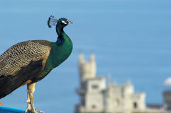 Peacock and Swallow's Nest castle Stock Images
