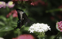 Peacock Swallowtail Butterfly Stock Image