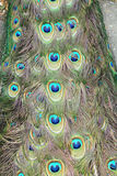 The peacock tail. Pattern - close up Royalty Free Stock Photography