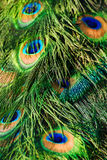 The peacock tail. Background of the peacock tail Royalty Free Stock Photography