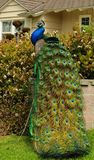 Peacock tail Stock Image
