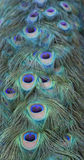 Peacock tail Stock Photo