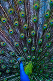 Peacock tail Royalty Free Stock Photography