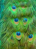 Peacock tail. Close up view of peacock feathers on a folded tail Stock Image