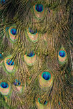Peacock tail Royalty Free Stock Photos
