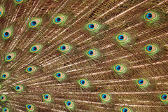 Peacock tail Stock Photography