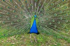 Peacock tail Royalty Free Stock Photos