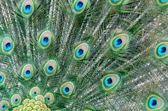 Peacock tail detail Royalty Free Stock Photos