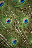 Peacock Tail Detail. Tight crop of a Peacock spread tail, showing colorful eye pattern Stock Photo
