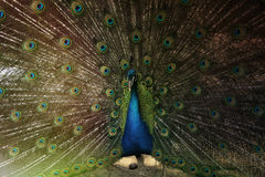 The peacock. With the tail disclosed in nature royalty free stock photo