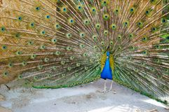 Peacock with tail dissolved stock images