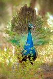Peacock with tail extended Royalty Free Stock Photo