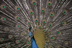 Peacock tail extended Royalty Free Stock Images