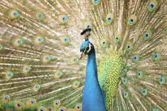 Peacock With Tail Extended Stock Photo