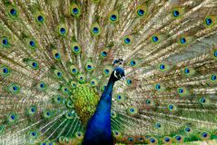 Peacock with tail fanned Royalty Free Stock Photo