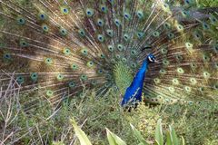 Peacock with tail fanned royalty free stock images