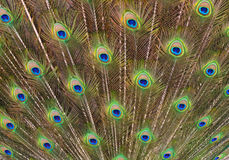 Peacock Tail Feather Royalty Free Stock Photo