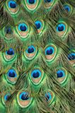 Peacock Tail Feather royalty free stock image