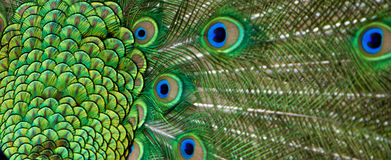 Peacock tail feather in detail Royalty Free Stock Images