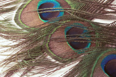 Peacock Tail Feathers Royalty Free Stock Images