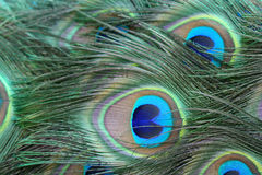 Peacock Tail Feathers. Brightly coloured feathers in the tail of a peacock Stock Photography