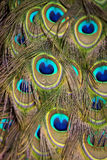 Peacock Tail Feathers Stock Images