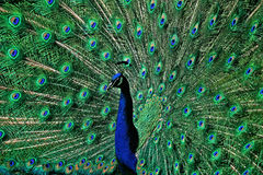 The peacock tail feathers Stock Photos