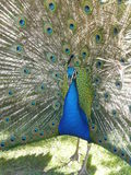 Peacock tail feathers Royalty Free Stock Photography
