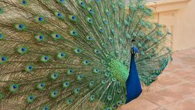 Peacock with tail feathers open royalty free stock photos
