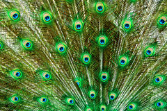 Peacock tail feathers in green and blue Stock Photo