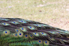 Peacock Tail Folded Down Stock Image