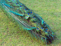 Peacock tail on grass Stock Images