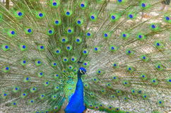 Peacock tail hypnosis. Bright colorful peacock with its colourful tail fully opened royalty free stock images