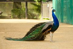 Peacock with tail lowered. Side view stock photography