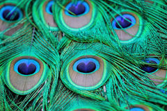 Peacock tail quill feathers Royalty Free Stock Images