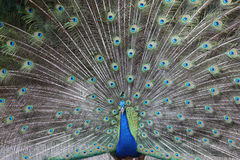 Peacock tail Royalty Free Stock Images