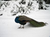 Peacock with tail on snow. Peacock with a colorful tail on a snowy path in the background snow-covered bushes royalty free stock photography