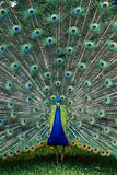 Peacock with Tail Spread Royalty Free Stock Photo