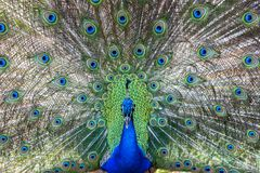 Pavo cristatus, peacock taken head on royalty free stock images