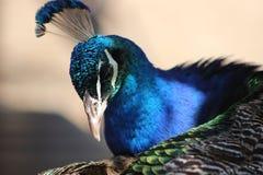 5 peacock tempting 图库摄影