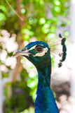 5 peacock tempting Στοκ φωτογραφία με δικαίωμα ελεύθερης χρήσης