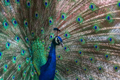 5 peacock tempting 免版税库存图片