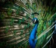 5 peacock tempting 免版税图库摄影