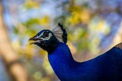 5 peacock tempting Στοκ Φωτογραφίες