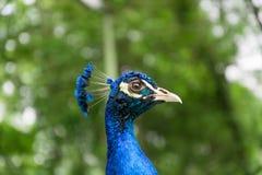 5 peacock tempting 库存图片